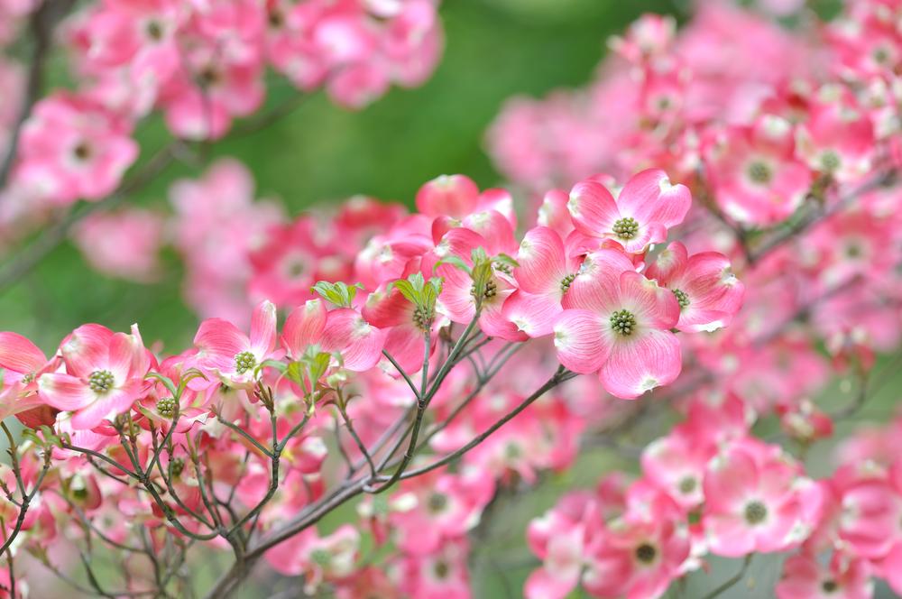 Pink Dogwood Blossomsjpg Blue Cross And Blue Shield Of North Carolina