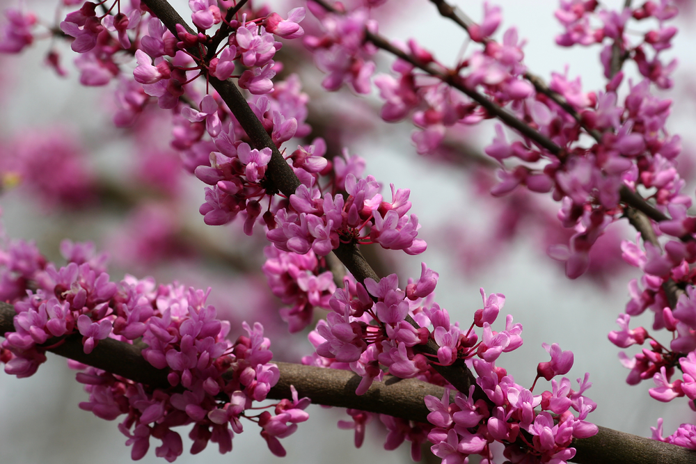 The Best Flowering Trees In The Spring In North Carolina Blue